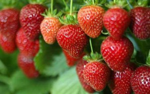 strawberries_1655808c